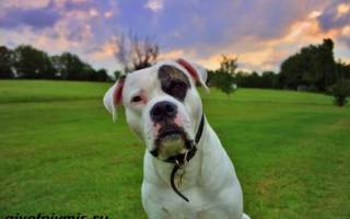 Американский бульдог характеристика породы, амбуль собака