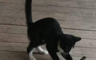 Как научить кошку ловить мышей?