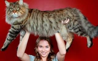 Какая порода кошек самая крупная?