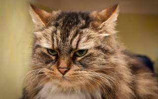 Норма сахара в крови у кошек – глюкоза кошке