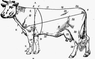 Что такое КРС, стати коровы