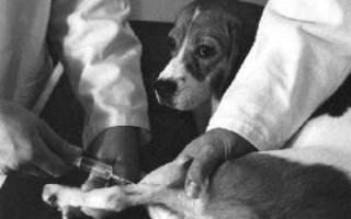 Собака хромает после укола