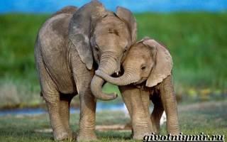 Жизнь слонов в дикой природе просмотр бесплатно