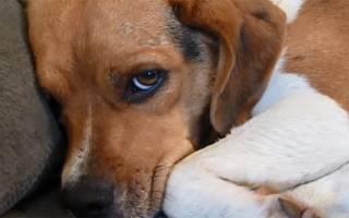 Заболевания печени у собак симптомы и лечение
