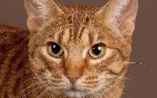 Оцикет кошка описание породы и характера