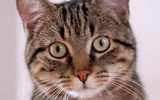 Восточно европейская кошка – кельтская порода кошек фото