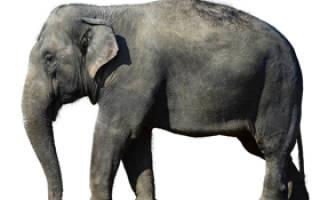 Сколько стоит слон в России?