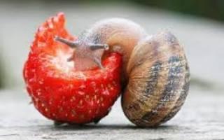 Почему улитка ахатина не ест?
