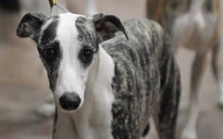 Дерматомикоз у собак лечение