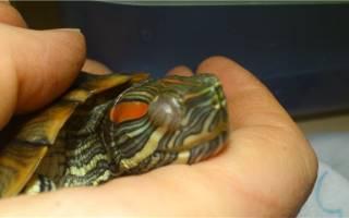 Почему у красноухой черепахи не открываются глаза?