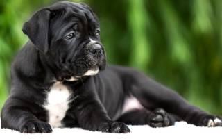 Как выбрать щенка кане корсо при покупке?