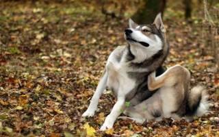 Чесотка у собак лечение в домашних условиях