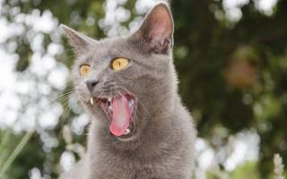 Почему кошки высовывают кончик языка?