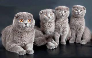 Сколько лет живут шотландские вислоухие кошки, скоттиш страйт продолжительность жизни