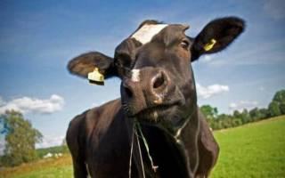 Сколько стоит корова в России?