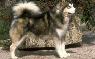 Собаки для охоты на кабана
