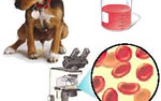 У собаки моча с кровью – что это?