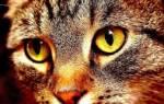 Блошиный аллергический дерматит у кошек фото