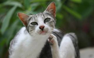 Чесоточный клещ у кошек фото