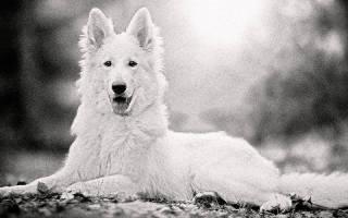 Бывают ли белые немецкие овчарки?