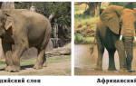 Африканский слон и индийский слон сравнение