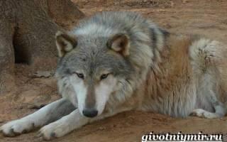 Волкособы описание породы