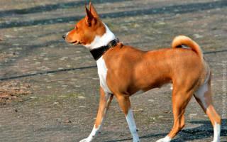 Собака которая не лает порода африканская?
