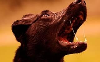 Бешенство у собаки симптомы инкубационный период