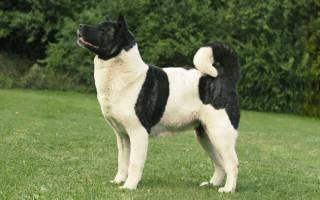 Порода собак американская акита фото цена — american akita