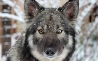 Щенки волка и хаски: собака волкособ