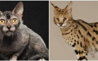 Гипоаллергенные породы кошек с фотографиями и названиями, безаллергенные кошки