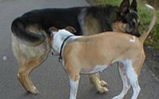 Почему собаки нюхают под хвостом?