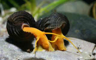 Чем питаются улитки в аквариуме с рыбками?