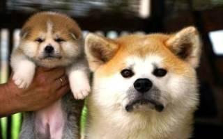 Порода собак сиба ину фото – акита маленькая
