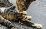 Кот постоянно лижется под хвостом, кошка все время вылизывается