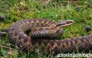 Сколько лет живут змеи в природе – продолжительность жизни змей