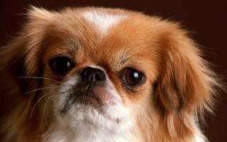 Сколько лет живут пекинесы собаки?