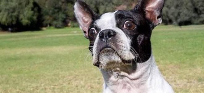 Бостон терьер и французский бульдог отличия – boston terrier