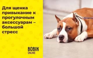 Как приучить собаку к ошейнику?