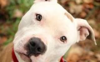 Питбуль собака описание породы