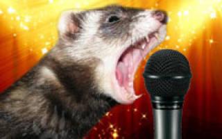 Какие звуки издает хорек, как разговаривают хорьки?