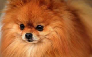 Что за порода собаки шпиц?