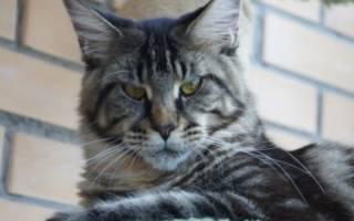 Какие породы кошек хорошие мышеловы?