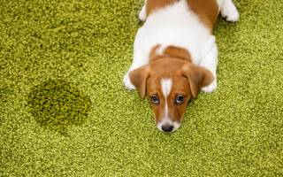 Как отучить кобеля метить в квартире – собака дома метит что делать