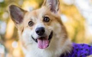 Порода собак вельш корги пемброк фото – welsh corgi pembroke