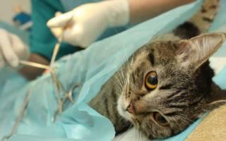 В каком возрасте кастрируют котов цена — когда делать кастрацию котенку