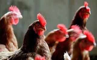 Кашель у кур – курица подавилась что делать
