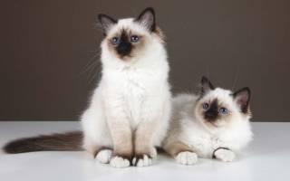 Какая порода кошек лучше для квартиры?