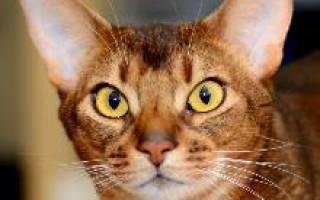 Абиссинская кошка описание породы и характера