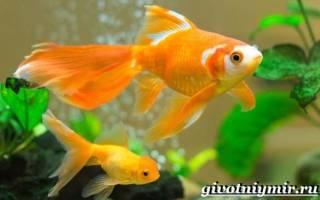 Золотая рыбка описание и уход